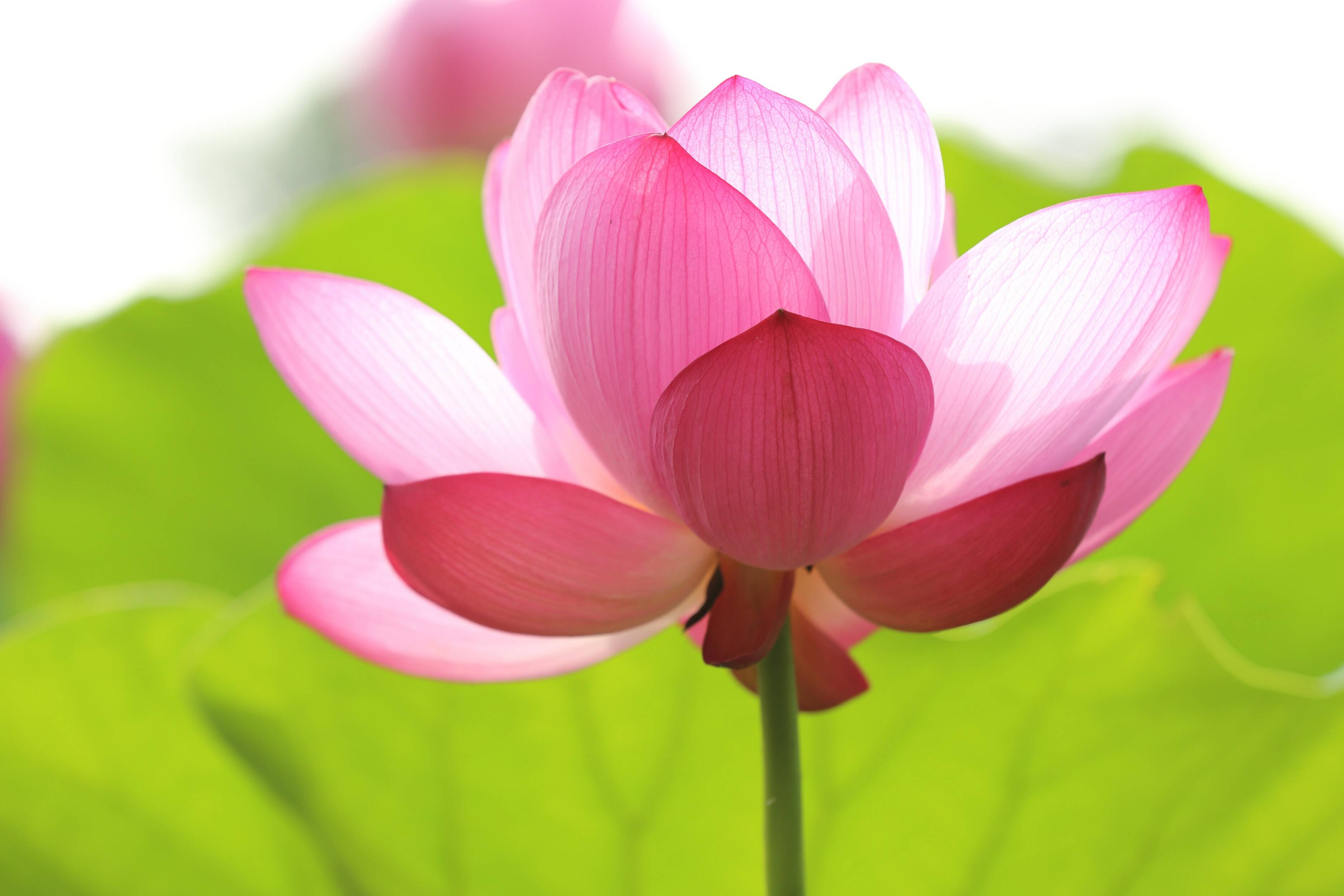 photo of about to bloom lotus flower - Baan Siam Massage & Spa Gutschein-Shop
